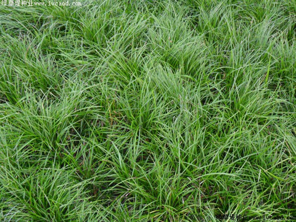早熟禾草坪主要有哪些种类