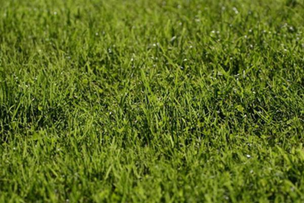 草坪褐斑病的症状及防治方法