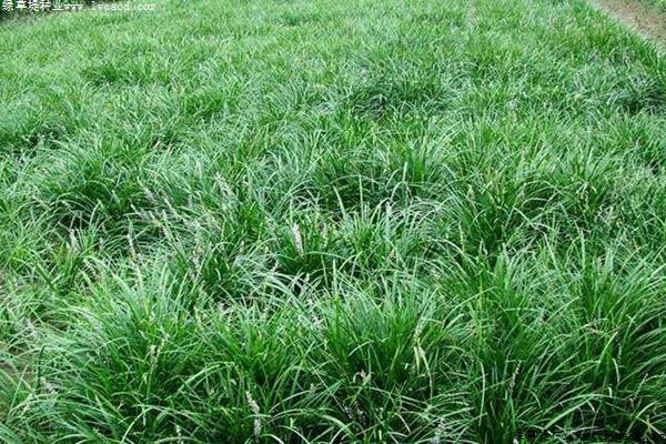 麦冬草的病虫害防治方法