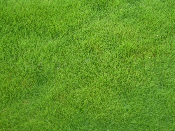 早熟禾草坪用什么除草剂