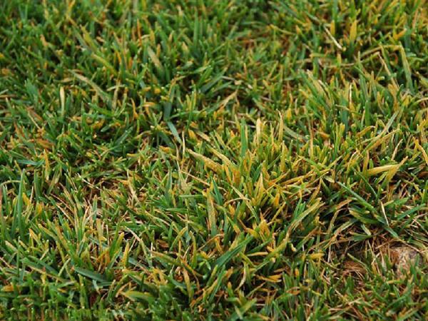 草坪叶枯病症状及防治方法