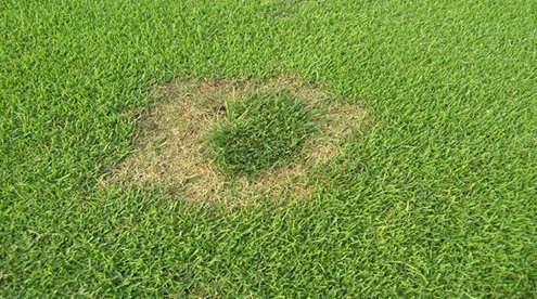 草坪镰刀菌枯萎病病因及防治方法