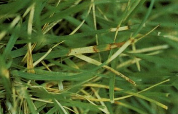 草坪炭疽病发病原因及防治方法
