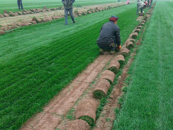 早熟禾草坪的种植养护技巧
