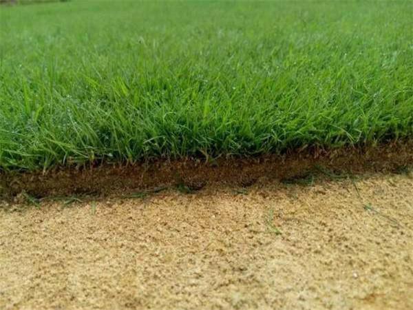 马尼拉草皮种几个关键技术不能少