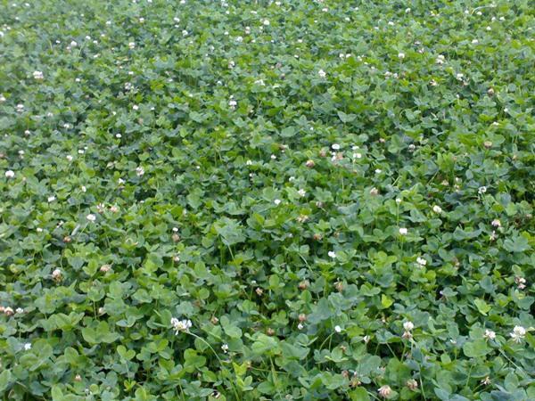 白三叶草种子发芽温度要求.jpg