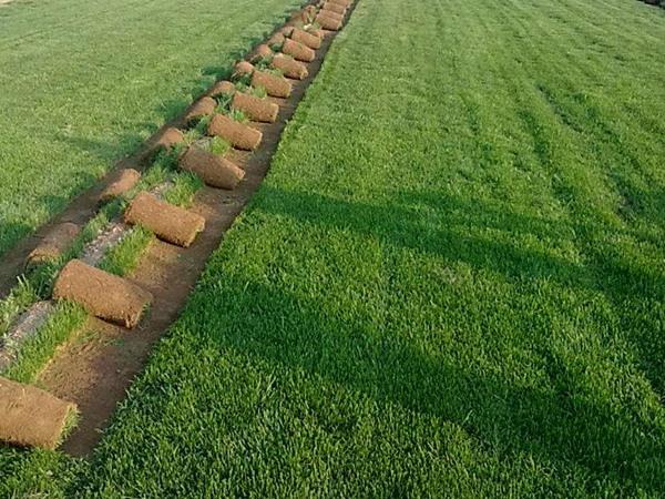 护坡草籽怎么撒播.jpg