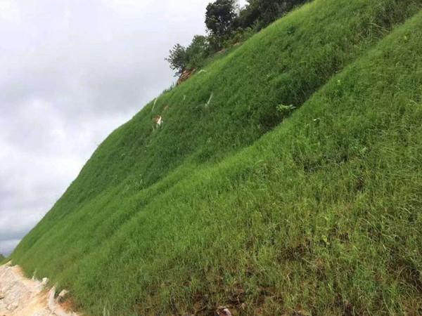 耐旱的护坡草籽有哪些