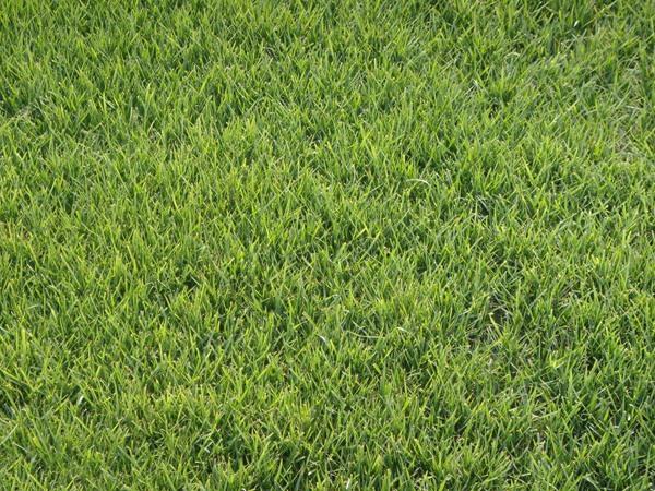 紫羊茅的播种和修剪技术分享