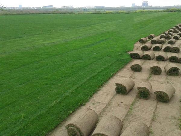 天堂草的不同繁殖方式 各有优缺点