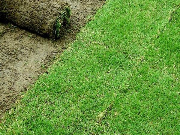 """天堂草被誉为特别优质的""""果岭草坪"""""""