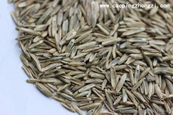护坡黑麦草种子