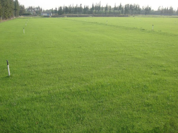四季青草坪有哪些种植技巧?