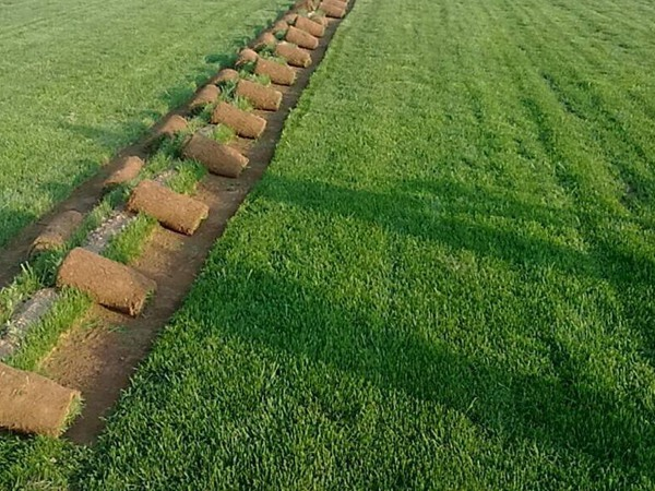 百慕大草籽的最佳播种时间