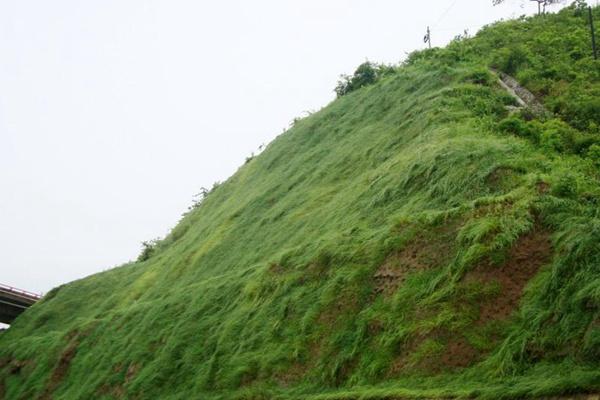 护坡高羊茅草坪的建植方法及养护技巧