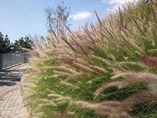 观赏狼尾草种子