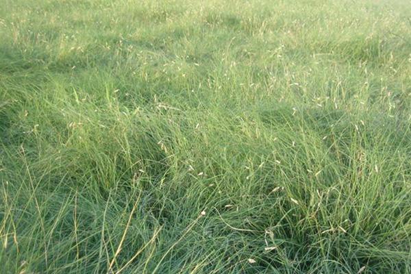 野牛草种子