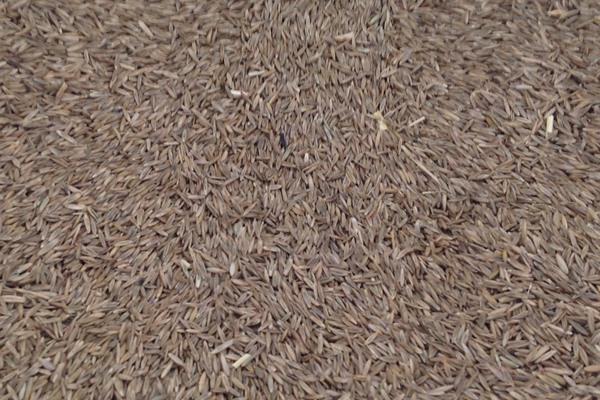 高羊茅种子什么时候播种生长效果最好