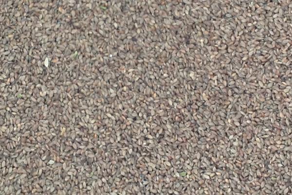 百慕大种子的价格是多少?