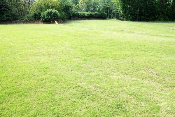 为什么百慕大草坪会变黄,如何处理?