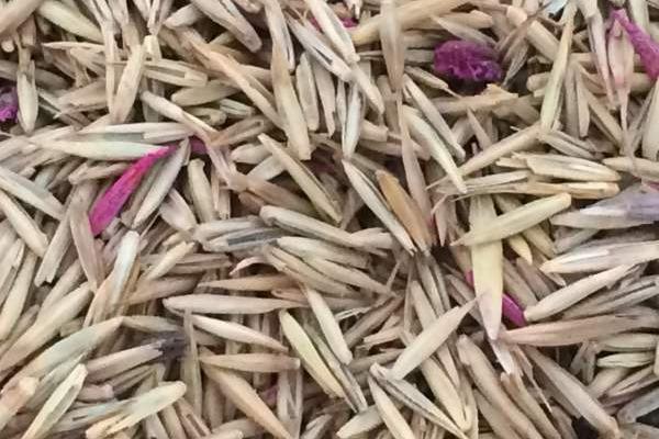 冰草种子的价格是多少钱1斤?
