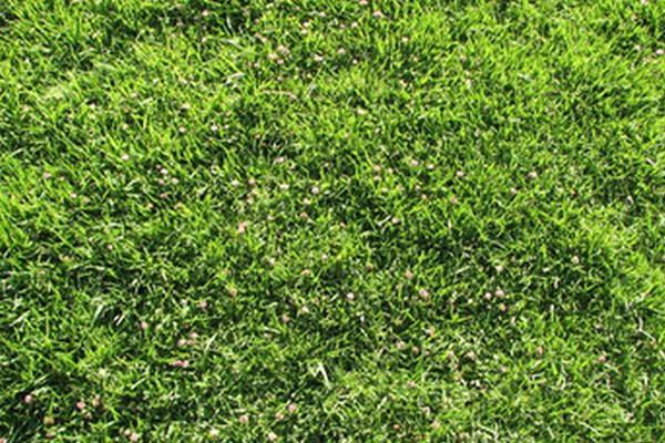 结缕草草坪的修剪方法