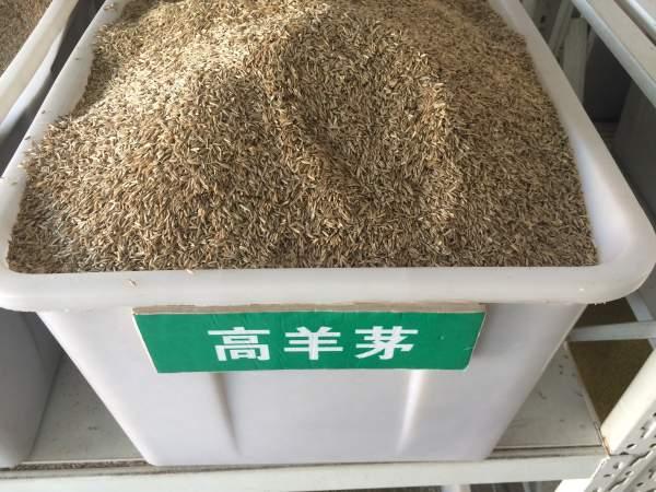高羊茅种子(白标)