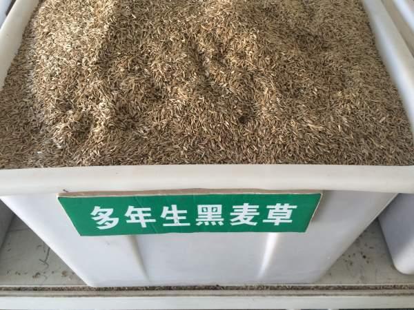 多年生黑麦草种子(蓝标)