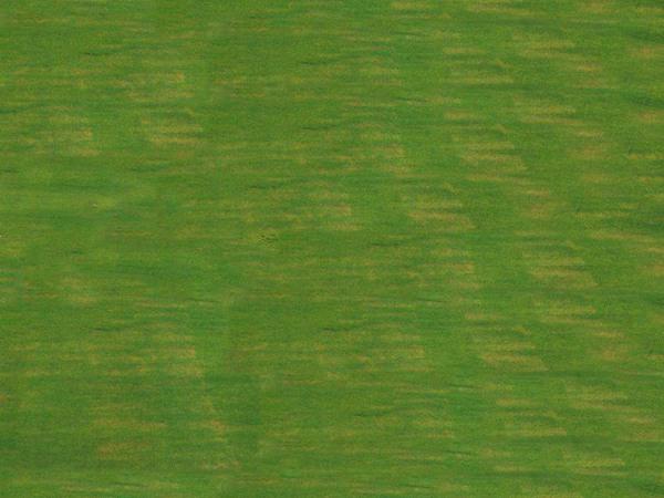 狗牙根草坪的优缺点都有哪些