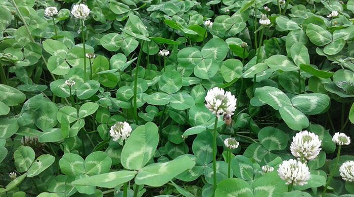 白三叶种植案例
