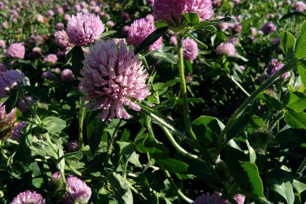 红三叶草的种植方法及养护技巧