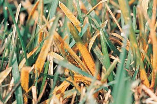 草坪锈病的发病原因及防治方法