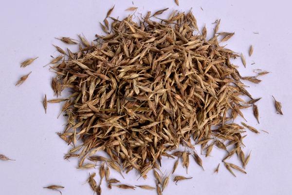 狼尾草种子怎么种,狼尾草种子的播种方法