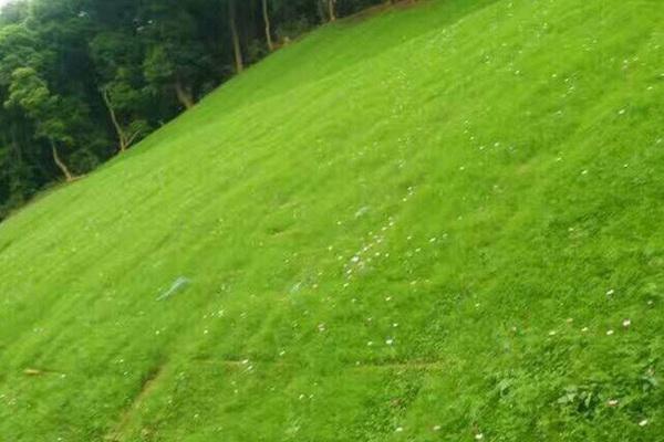 护坡草坪种子如何种植