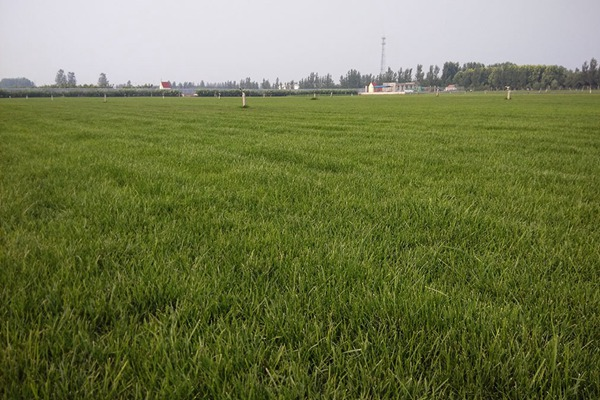 早熟禾种子多少钱一斤